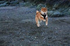 Παιχνίδι σκυλιών κουταβιών inu Shiba στην παραλία στη Νορβηγία Στοκ φωτογραφία με δικαίωμα ελεύθερης χρήσης
