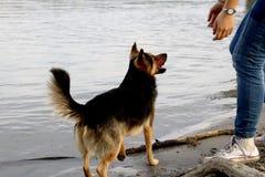 Παιχνίδι σκυλιών με ένα κορίτσι στην παραλία ποταμών Χέρια και πόδια κοριτσιών Νερό και άμμος bacground Στοκ Εικόνες