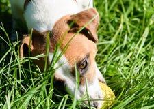 Παιχνίδι σκυλιών με τη μικρή κίτρινη σφαίρα στην πράσινη χλόη Στοκ εικόνα με δικαίωμα ελεύθερης χρήσης