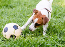 Παιχνίδι σκυλιών με το ποδόσφαιρο & x28 soccer& x29  σφαίρα με το πόδι του Στοκ εικόνες με δικαίωμα ελεύθερης χρήσης