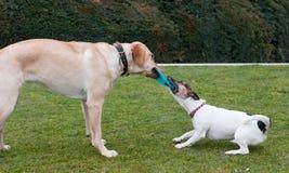 Παιχνίδι σκυλιών σε μια πράσινη χλόη Στοκ φωτογραφία με δικαίωμα ελεύθερης χρήσης