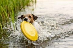 Παιχνίδι σκυλιών τεριέ της Νίκαιας με το κίτρινο παιχνίδι στο νερό Στοκ φωτογραφία με δικαίωμα ελεύθερης χρήσης