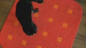 Παιχνίδι-τεριέ σκυλιού που χαράζει την ουρά του σε ένα χαλί φιλμ μικρού μήκους