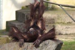 Παιχνίδι χιμπατζών Στοκ εικόνα με δικαίωμα ελεύθερης χρήσης