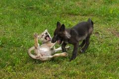 Παιχνίδι δύο γκρίζο κουταβιών λύκων (Λύκος Canis) Στοκ Εικόνες