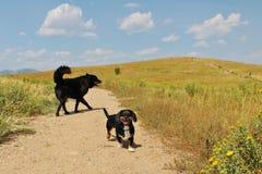 Παιχνίδι δύο σκυλιών στο λιβάδι του Κολοράντο μια ηλιόλουστη ημέρα Στοκ φωτογραφία με δικαίωμα ελεύθερης χρήσης