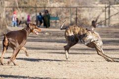 Παιχνίδι δύο σκυλιών Στοκ φωτογραφία με δικαίωμα ελεύθερης χρήσης