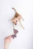 Παιχνίδι Chihuahua, που προσπαθεί να φθάσει στο σχοινί Στοκ Εικόνες