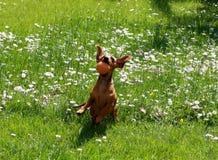 Παιχνίδι dachshund Στοκ Φωτογραφίες