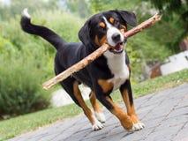 Παιχνίδι Sennenhund με το μακρύ κλάδο Στοκ φωτογραφία με δικαίωμα ελεύθερης χρήσης