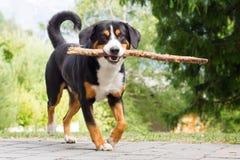 Παιχνίδι Sennenhund με το μακρύ κλάδο Στοκ Εικόνα