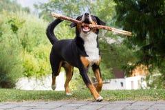 Παιχνίδι Sennenhund με το μακρύ κλάδο Στοκ Φωτογραφία