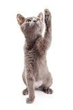 Παιχνιδιάρες γατάκι που αυξάνει το πόδι Στοκ φωτογραφία με δικαίωμα ελεύθερης χρήσης