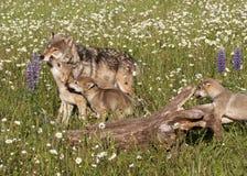 Παιχνιδιάρη κουτάβια λύκων Στοκ Εικόνα