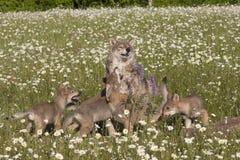 Παιχνιδιάρη κουτάβια λύκων Στοκ Φωτογραφίες