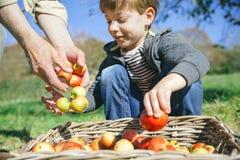 Παιδί και ανώτερα χέρια ατόμων που βάζουν τα μήλα στο καλάθι Στοκ φωτογραφία με δικαίωμα ελεύθερης χρήσης
