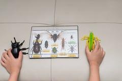 Παιδί που ελέγχει έναν πλαστό κάνθαρο grasshopper σε σχέση με ένα κιβώτιο της συλλογής δειγμάτων εντόμων Στοκ Εικόνα