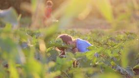 Παιδί της Farmer ` s που βοηθά συγκομίζοντας το οργανικό φυτικό κολοκύθι στον τομέα του αγροκτήματος eco απόθεμα βίντεο