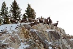 Πακέτο κριού βουνών Στοκ Φωτογραφία