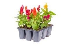 πακέτο λουλουδιών celosia Στοκ Εικόνες