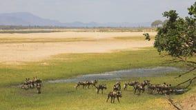 Πακέτο του αφρικανικού άγριου σκυλιού (pictus Lycaon) στο floodpla Ζαμβέζη στοκ εικόνα με δικαίωμα ελεύθερης χρήσης
