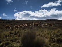 Πακέτο των λάμα στις ορεινές περιοχές στοκ εικόνα