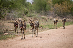 Πακέτο των αφρικανικών άγριων σκυλιών που περπατούν προς τη κάμερα Στοκ Φωτογραφία