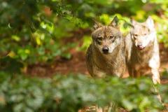 Πακέτο λύκων στοκ εικόνες