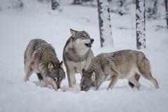 Πακέτο λύκων Στοκ Φωτογραφίες