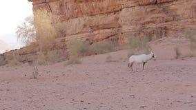 Πακέτο Oryx ρουμιού Wadi στο λόφο άμμου φιλμ μικρού μήκους