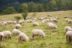 πακέτο sheeps Στοκ φωτογραφίες με δικαίωμα ελεύθερης χρήσης