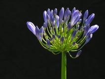 παλάτι agaphanthus buckingham στοκ φωτογραφίες