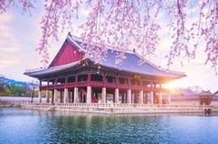 Παλάτι Gyeongbokgung με το χρόνο δέντρων ανθών κερασιών την άνοιξη μέσα στοκ εικόνες με δικαίωμα ελεύθερης χρήσης