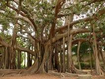 Παλέρμο, Σικελία, Ιταλία Βοτανικός κήπος Ficus αποκαλούμενης επίσης magnolioide στοκ εικόνα