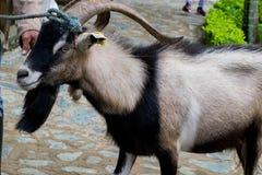Παλαιά αίγα σε έναν ζωολογικό κήπο Petting Στοκ Εικόνα