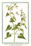 Παλαιά απεικόνιση των εγκαταστάσεων acutioribus foliis monspeliaca Periploca στοκ εικόνες