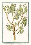 Παλαιά βοτανική απεικόνιση των αμερικανικών εγκαταστάσεων arborescens Tithymalus Στοκ Εικόνες