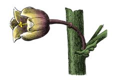 Παλαιά βοτανική χάραξη ανθών officinalis σπαραγγιού Στοκ Εικόνα