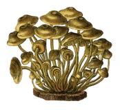 Παλαιά βοτανική χάραξη fascicularis Agaricus Στοκ φωτογραφίες με δικαίωμα ελεύθερης χρήσης