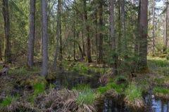 Παλαιά δέντρα κληθρών μεταξύ των ερυθρελατών στην άνοιξη Στοκ φωτογραφία με δικαίωμα ελεύθερης χρήσης