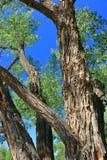 Παλαιά δέντρα Cottonwood πεδιάδων, δελτοειδής λεύκη, κατά μήκος του κόκκινου ποταμού ελαφιών, επαρχιακό πάρκο δεινοσαύρων, Αλμπέρ στοκ φωτογραφίες