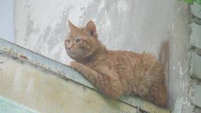 Παλαιά κόκκινη συνεδρίαση γατών στο καλοκαίρι μπαλκονιών στο σπίτι έννοια ένδειας κατοικίδιων ζώων απόθεμα βίντεο