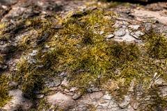 Παλαιά ξύλινη σύσταση φλοιών δέντρων με το πράσινο βρύο Βρύο στο παλαιό δέντρο Ξύλινη σύσταση Στοκ φωτογραφία με δικαίωμα ελεύθερης χρήσης