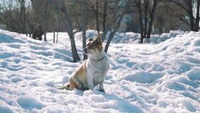 Παλαιά συνεδρίαση σκυλιών στο χιόνι την πρώιμη άνοιξη απόθεμα βίντεο