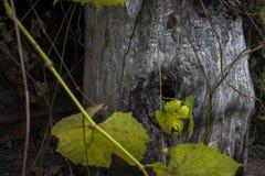Παλαιά τρύπα δέντρων στην εστίαση Στοκ Εικόνες