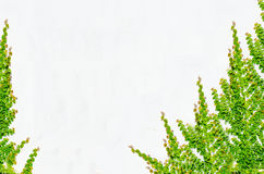 Παλαιά φύλλα τοίχων και κισσών ανασκόπησης Στοκ Εικόνα