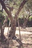 Παλαιές τσουγκράνα και σκαπάνη που εγκαταλείπονται στον κορμό ελιών Στοκ Εικόνες