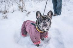 Παλαιοί περίπατοι μαλαγμένου πηλού στο χιόνι με τον κύριό του Σκυλί σε ένα χειμερινό παλτό το χειμώνα στοκ φωτογραφία με δικαίωμα ελεύθερης χρήσης