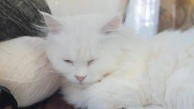 Παλαιός άσπρος ύπνος γατών κατοικίδιων ζώων στον πίνακα δίπλα στις σφαίρες για το πλέξιμο παλαιά όμορφη άσπρη συνεδρίαση γατών απ απόθεμα βίντεο