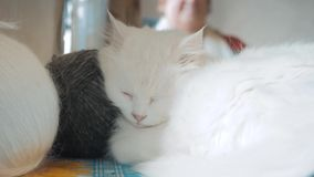 Παλαιός άσπρος ύπνος γατών στον πίνακα δίπλα στις σφαίρες για το πλέξιμο παλαιός όμορφος άσπρος τρόπος ζωής συνεδρίασης γατών από απόθεμα βίντεο